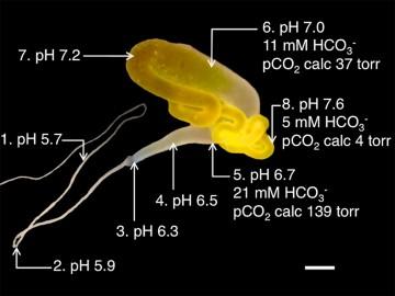 거미 명주샘은 위치에 따라 수소이온농도와 이산화탄소 농도가 다르다는 사실이 밝혀졌다. 이를 모방하면 천연 거미줄처럼 강한 거미줄을 뽑아낼 수 있을지도 모른다. - 플로스 생물학 제공